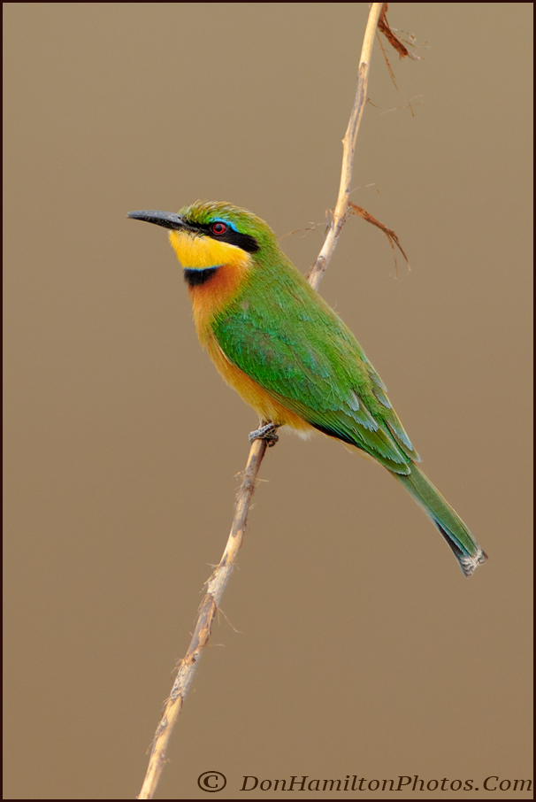 cinnamon-chested-bee-eater-mg_0811
