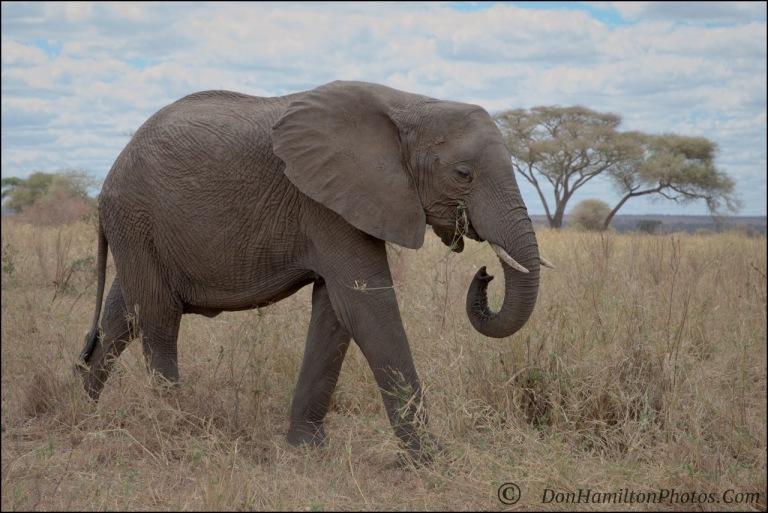 grazing-elephant_o7t0929