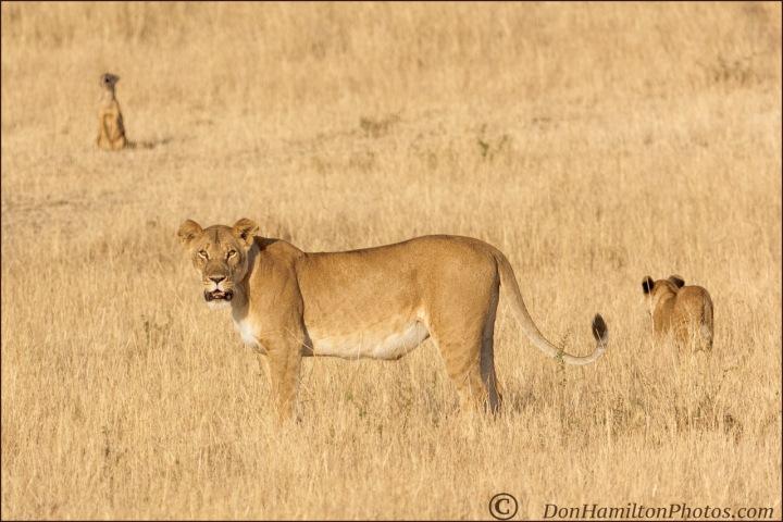 lioness-mom-onplainsmastercropmg_0290