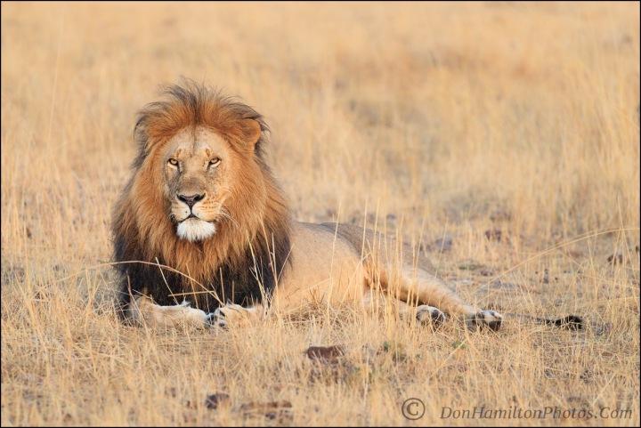 mature-male-lion-mastercrop_f7i1828