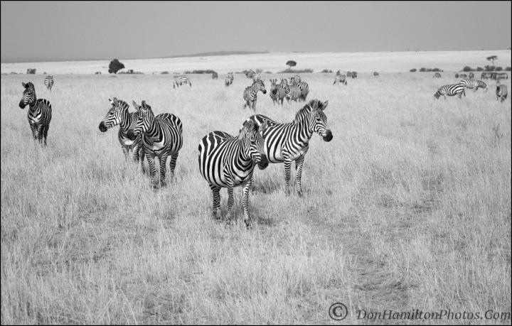 zebra-plains-monomastercrop_f7i2236