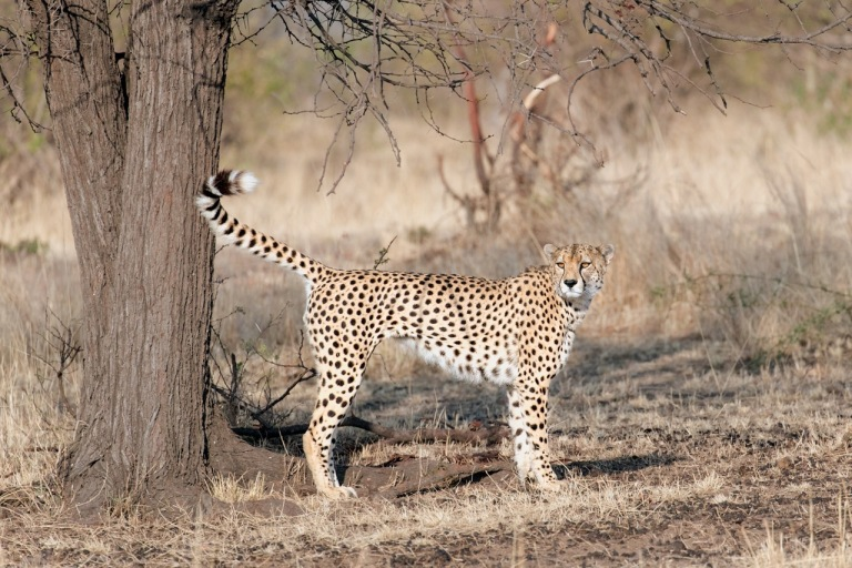 cheetah-marking-teritory_7i1294