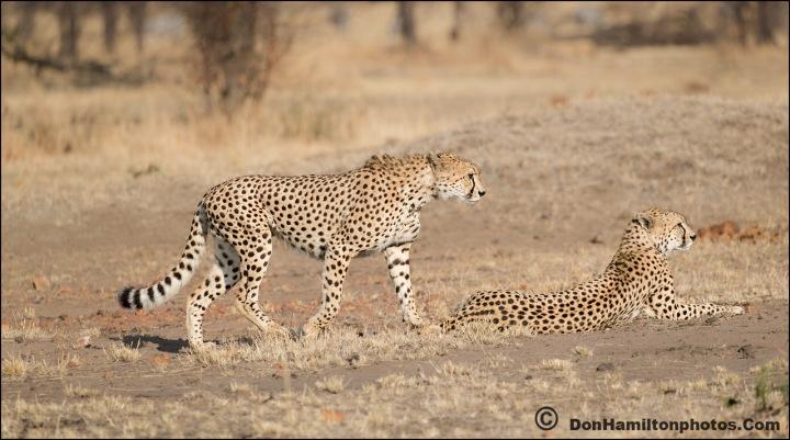 cheetahs-on-the-huntf7i1318