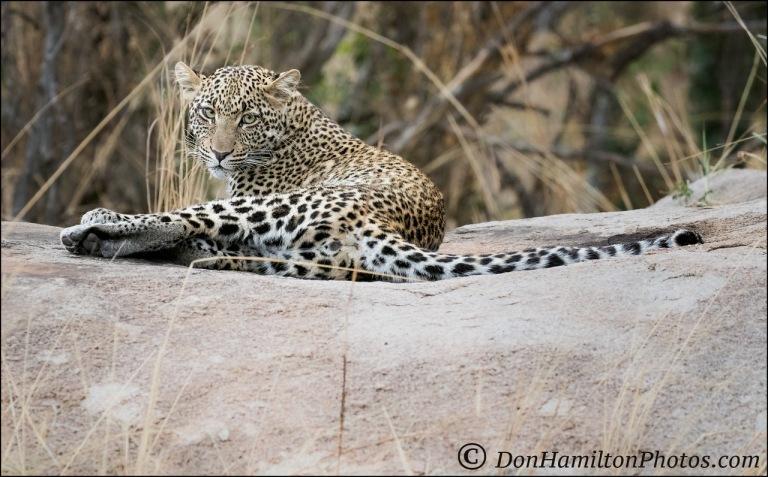 chiling-leopard_f7i8345
