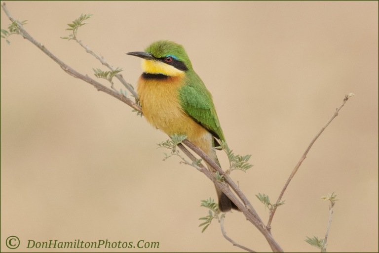 cinnamon-chested-beeeater_mg_1206