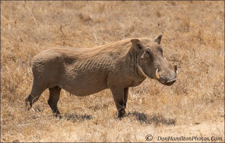 common-warthog_f7i5739