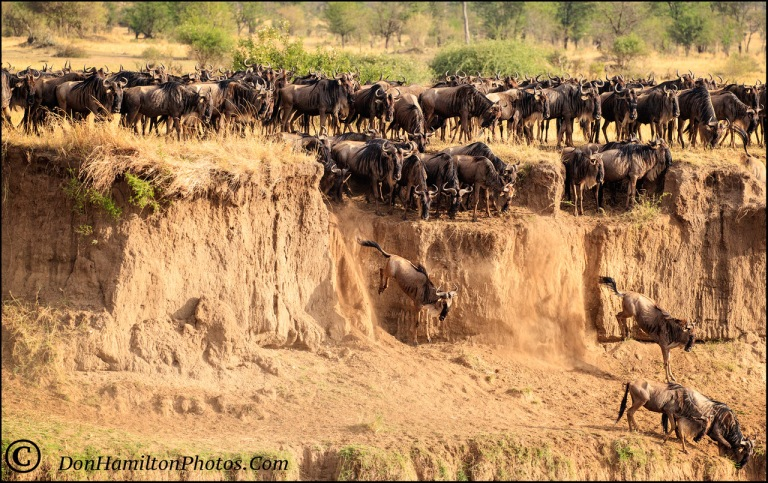 jumping-wildebeests_f7i7822