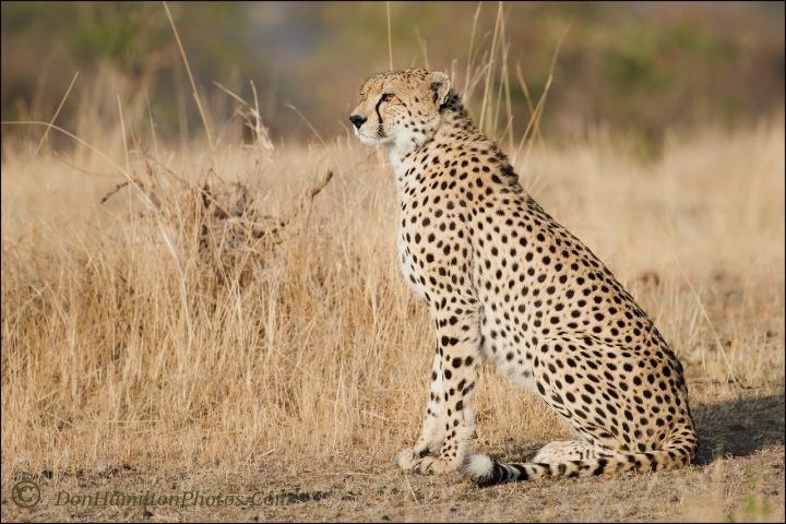 locked-on-cheetah_f7i1137