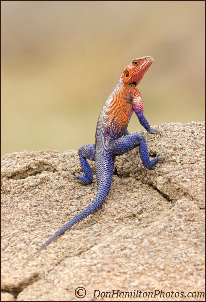 male-agama-lizard_mg_0876