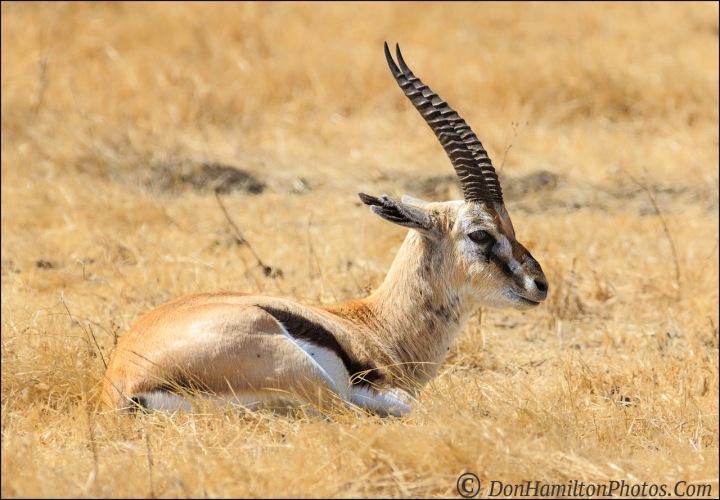 thomsons-gazelle-male_mg_0484
