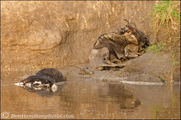 trampled-wildebeests_mg_0003