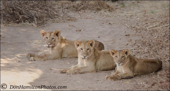 tres-amigos-lionsmg_0075