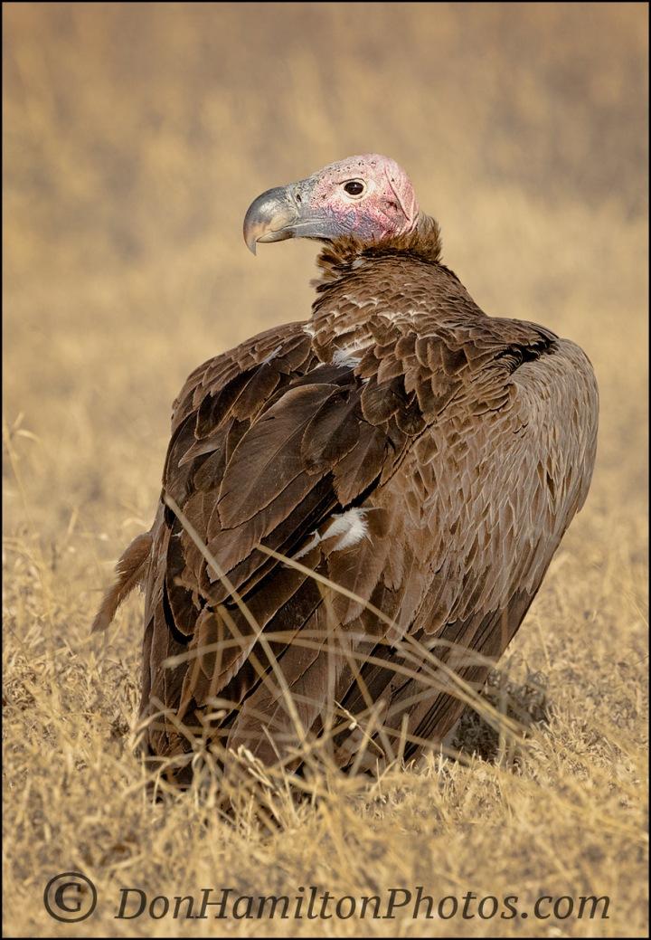 whiteheaded-vulturemg_1573-2