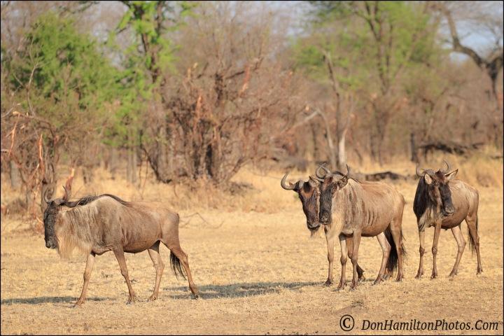 wildebeest-breakfast_f7i1311