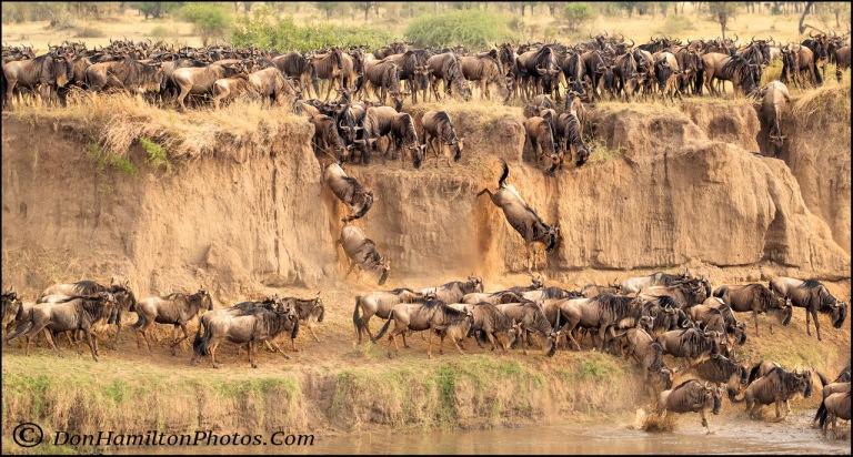 wildebeests-jumping_f7i7634