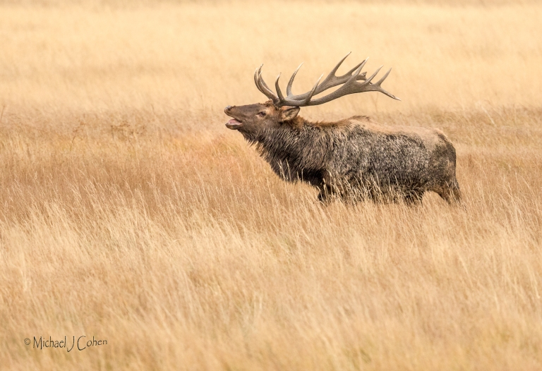 bugling-elk-in-field