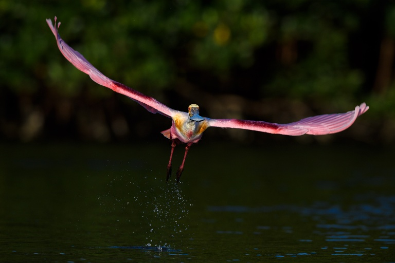 BPN-II-Roseate-Spoonbill-taking-flight-_DSC0456--Alafia-Banks,-Tampa-Bay,-FL