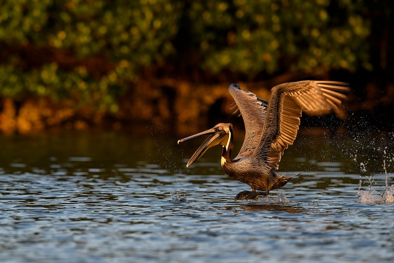 Brown-Pelican-taking-flight-with-bill-open-_DSC0118--Alafia-Banks,-Tampa-Bay,-FL