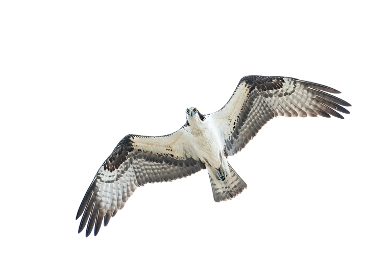 Osprey-stariing-_DSC0333--Indian-Lake-Esates,-FL