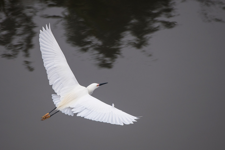 Snowy-Egret-top-shot-_DSC0487--Gatorland,-Kissimmee,-FL