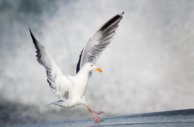 Western-Gull-landing-_DSC4633--La-Jolla,-CA