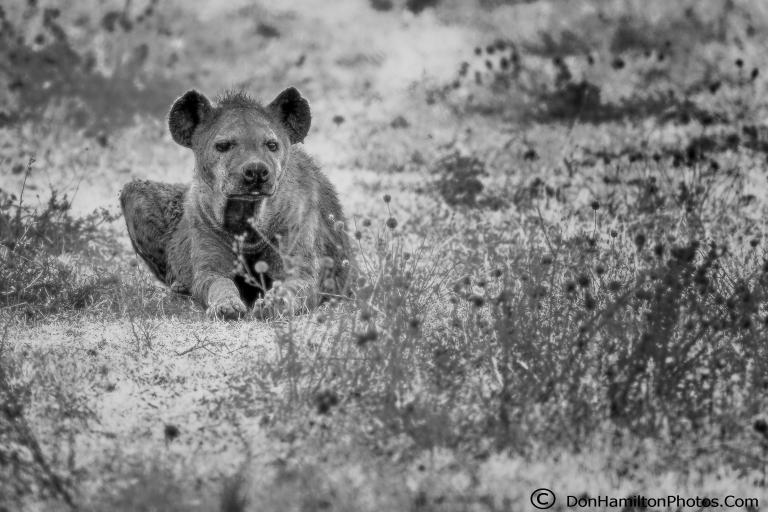 Hyena-monochrome_F7I8879.jpg